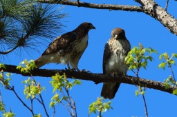 Mated pair of Red-tailed Hawk - Bob Mercer