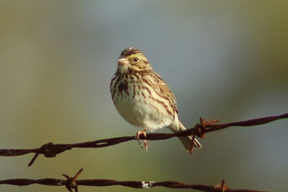 Savannah Sparrow along the West Ashley Greenway - Bob Mercer