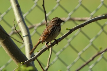 Song Sparrow along the West Ashley Greenway - Bob Mercer