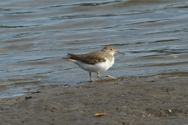 Spotted sandpiper along the West Ashley Greenway - Bob Mercer