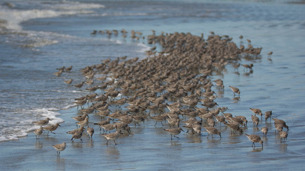 1-red-knot-flock-of-700-north-beach-east-of-boardwalk-1-1