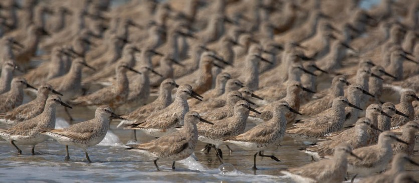 Red Knot, North Beach, photo by Ed Konrad