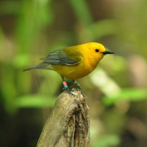 2 Prothonotary Warbler, Beidler Forest, photo by Ed Konrad (2)
