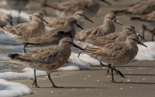 Red Knot, breeding color, North Beach, photo by Ed Konrad