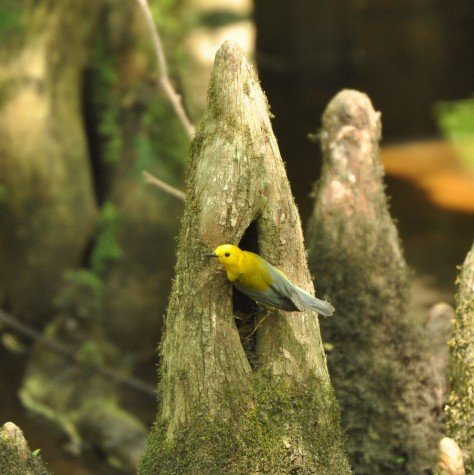 Prothonotary Warbler, Beidler Forest, photo by Ed Konrad