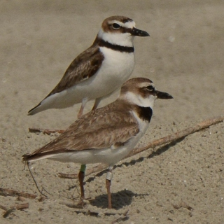 Wilson Plover, North Beach, photo by Ed Konrad