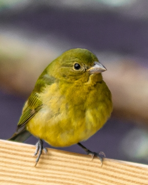 A juvenile Painted bunting with feathers fluffed trying to stay warm on a cold day - C Moore
