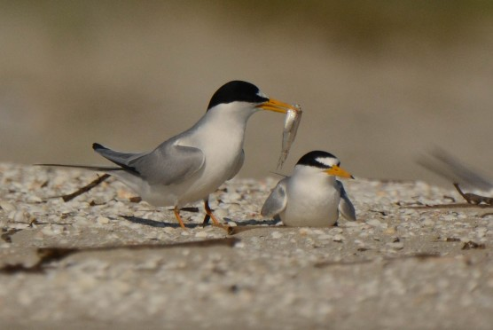 Least Tern, North Beach - Ed Konrad