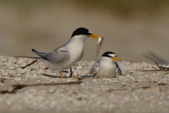 Least Tern, North Beach - Ed Konrad
