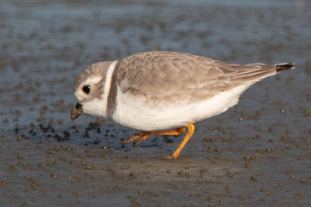 2 Piping Plover - CBC North Beach