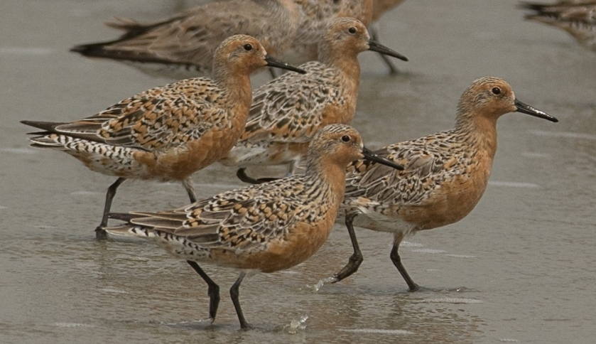 1 Red Knot-North Beach