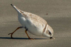 3 Piping Plover 2K-North Beach