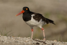 American Oystercatcher, U5, North Beach - Ed Konrad