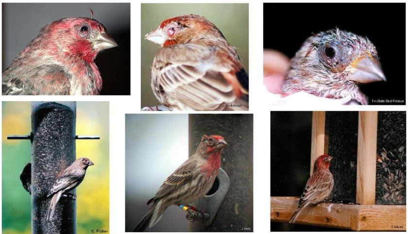 House Finch Eye Disease 1