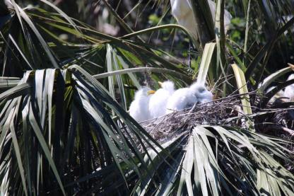 Baby Egrets Napping - Jackie Brooks