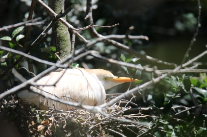 Cattle Egret on Nest - Jackie Brooks