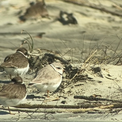 A single Piping Plover among hundreds of Semipalmated Plovers - Nancy Brown