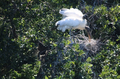 Wood Storks Preparing Nest - Jackie Brooks